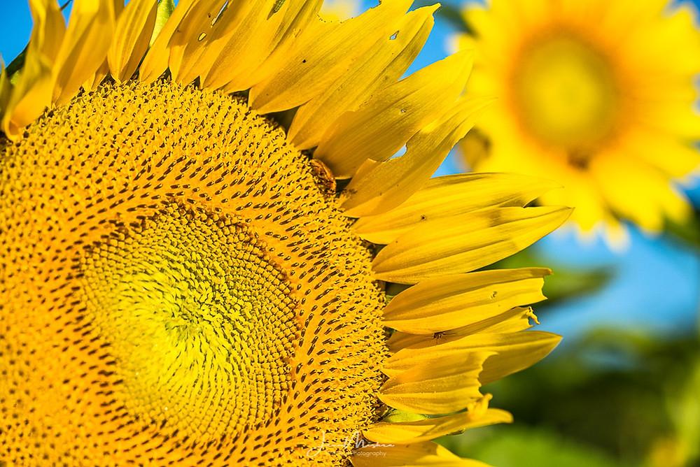 Photo sunflowers