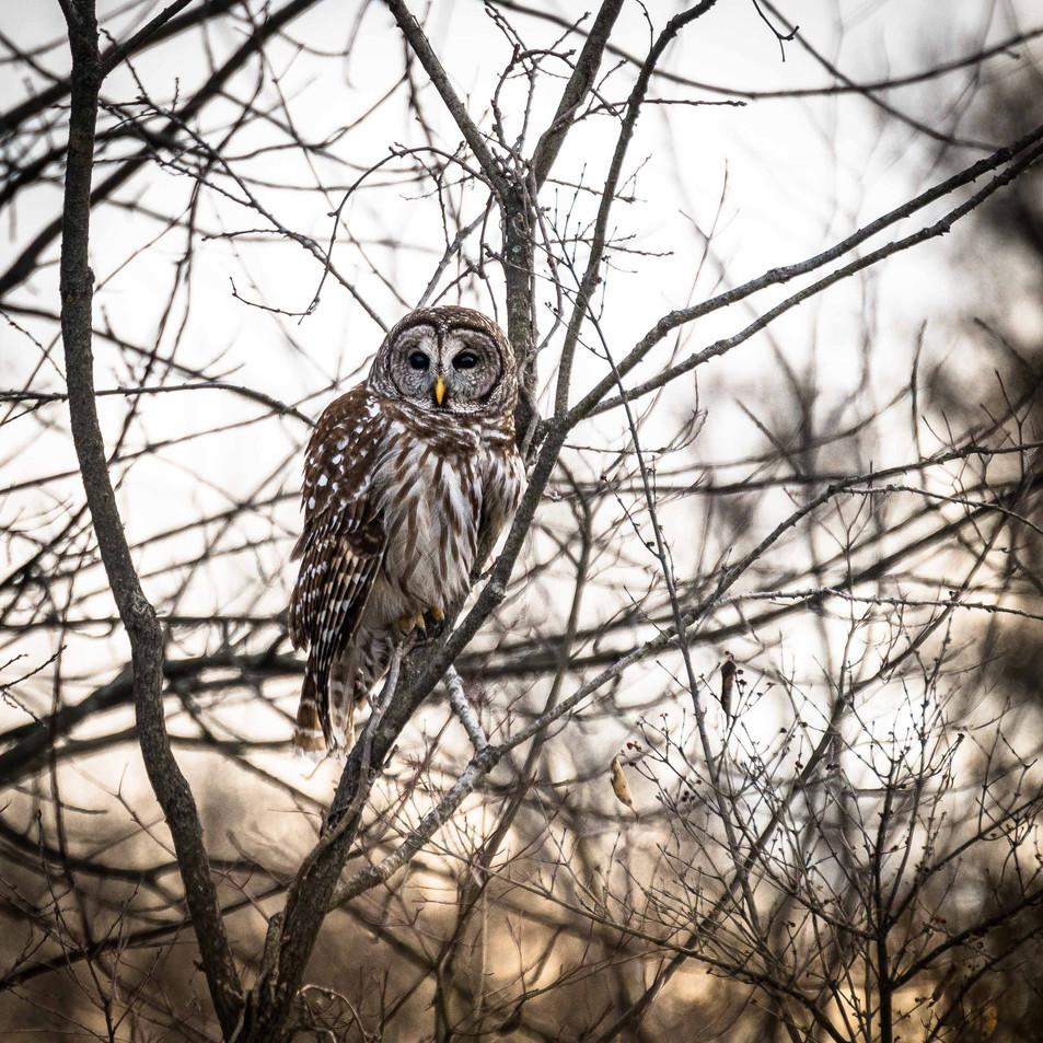 Owl Stops for a Photo Break