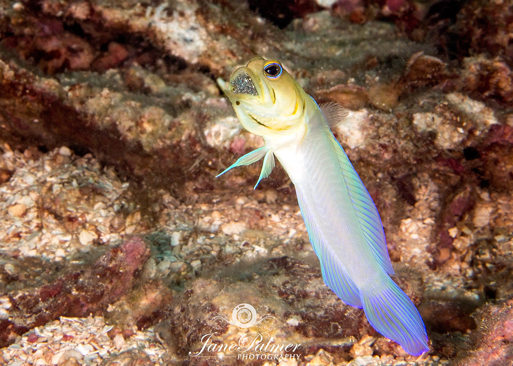 A yellow headed jawfish