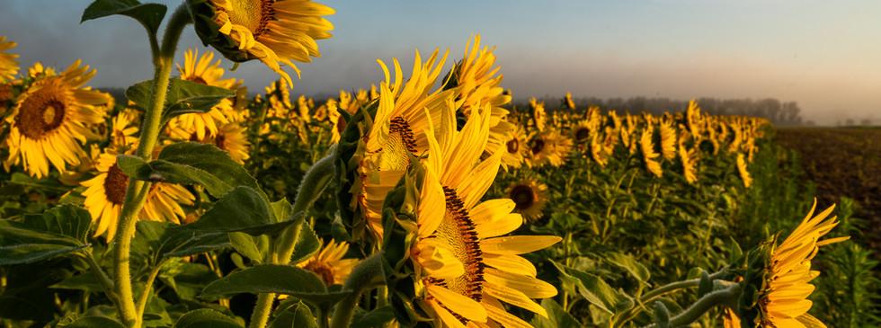 Columbia Bottom Sunflowers