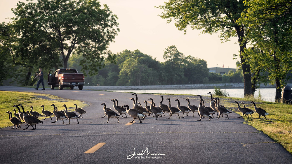 Row of geese crossing the road