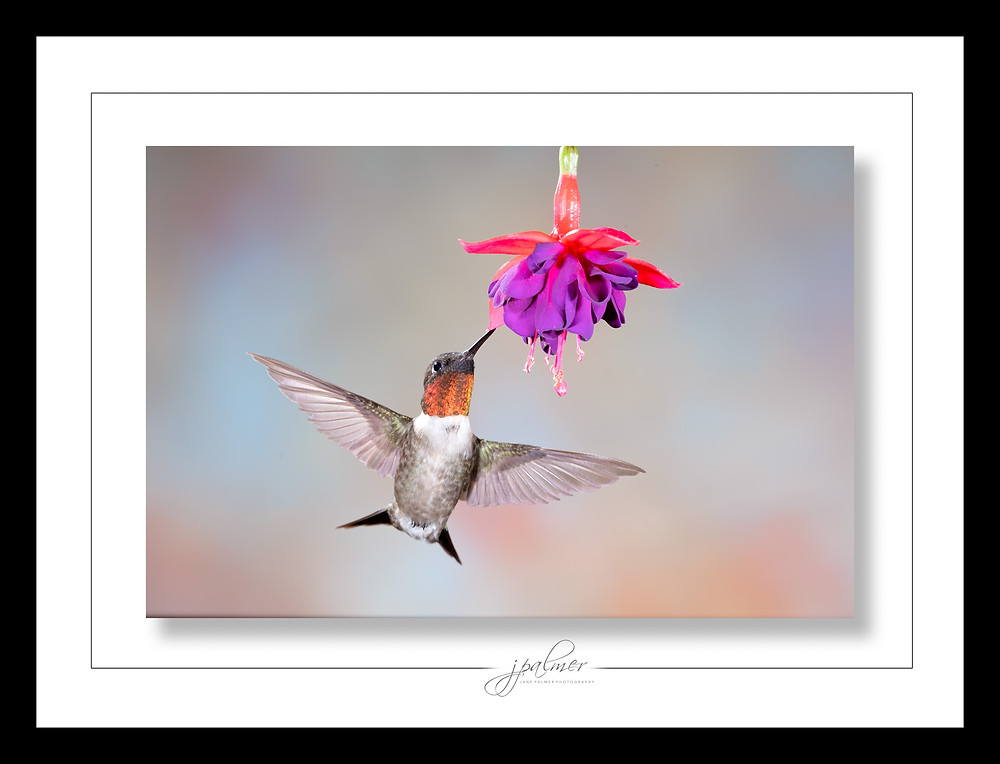 Photo hummingbird purple flower