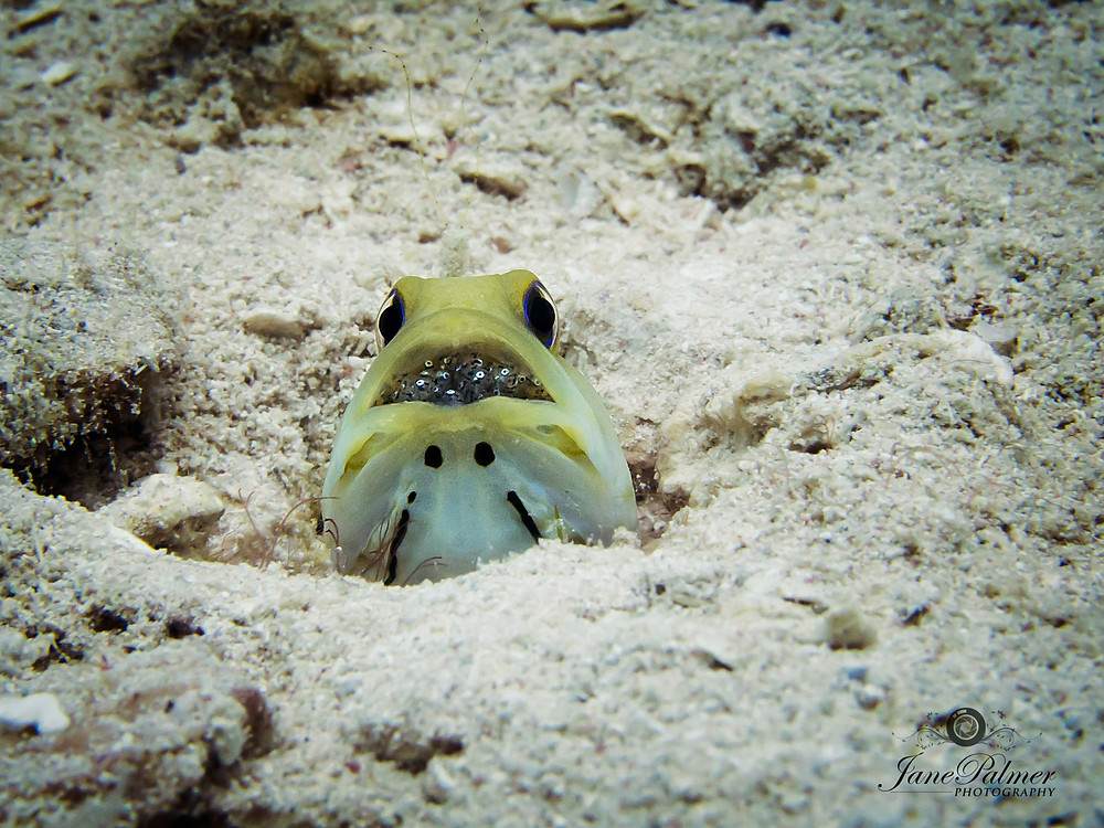 Photo A yellow headed jawfish