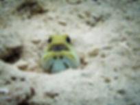 YellowHeadedJawfishWithEggs.jpg