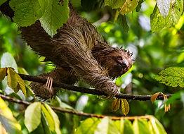wildlife-photography-sloth-costa-rica.jp