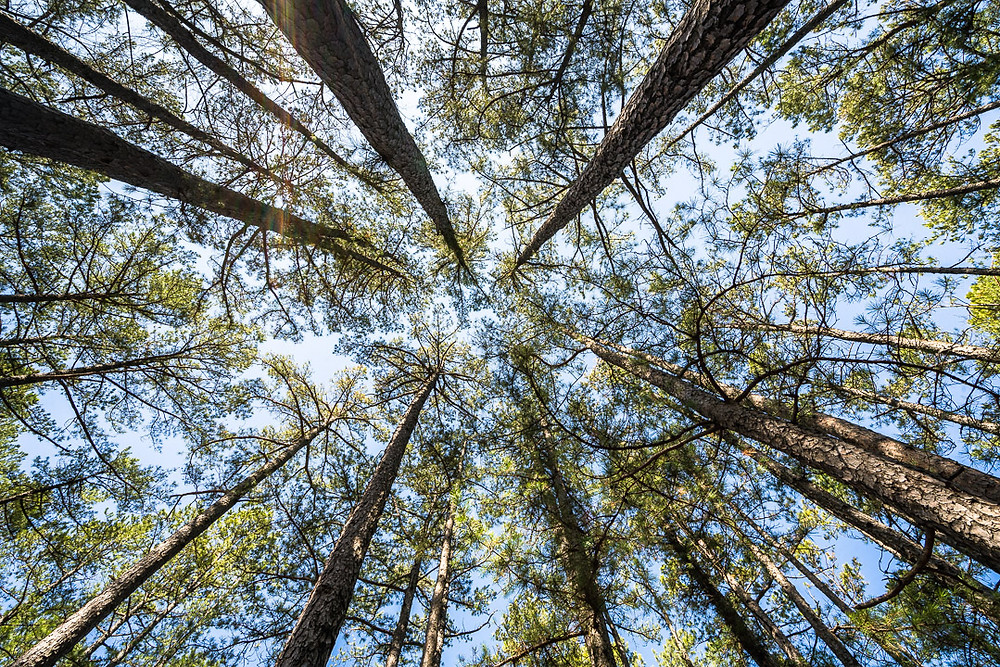 Looking up. The trees grow tall.