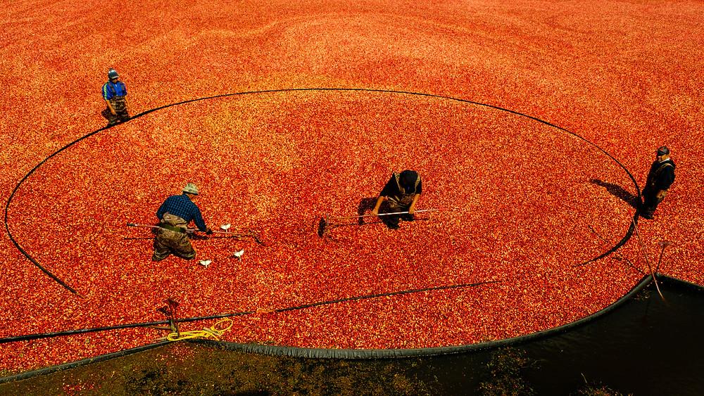 Cranberry Harvest  Photograph by Bobbi Lane