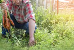 Récolter les carottes