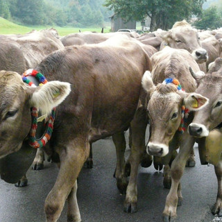 Viehscheid - Almabtrieb - Bad Hindelang