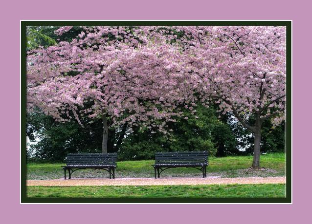Cherry Bloassoms.jpg