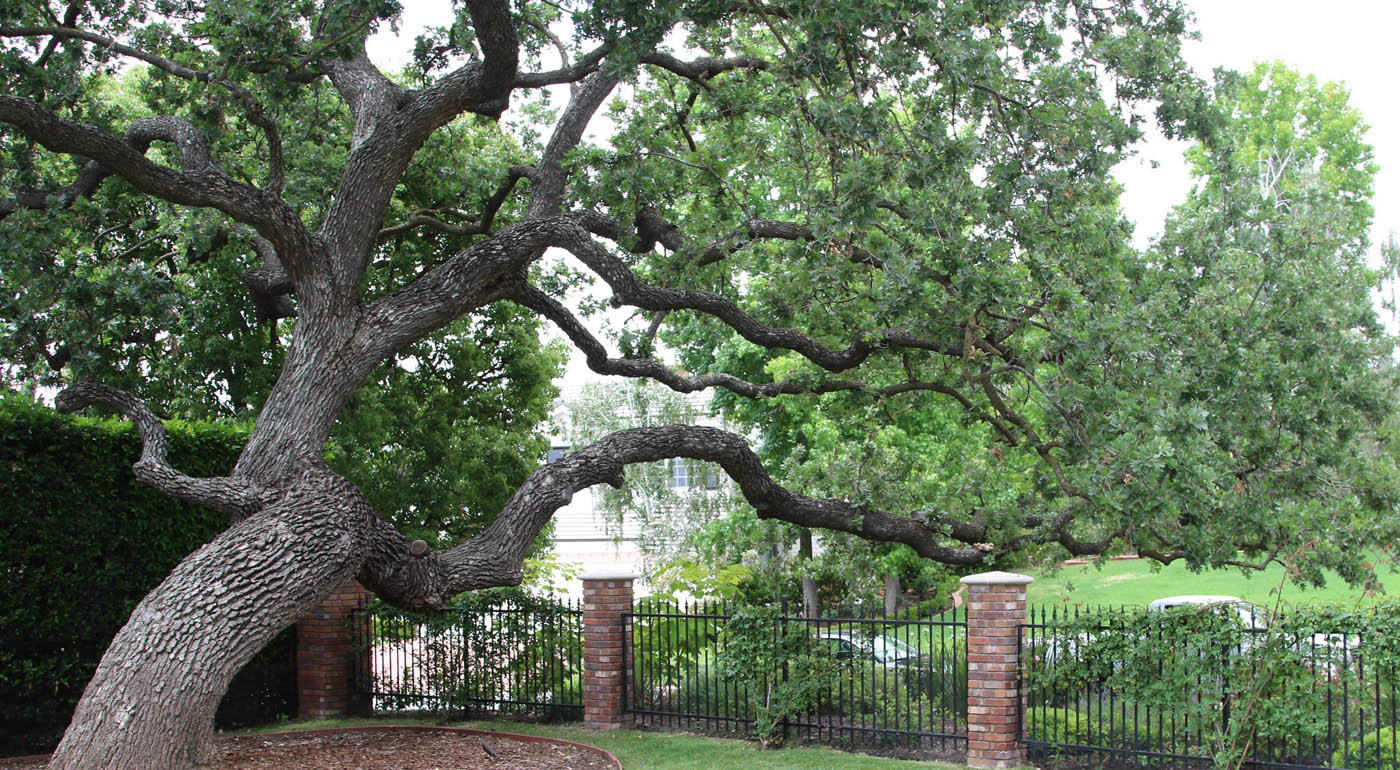 giant oak.jpg