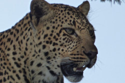 Love the Leopard