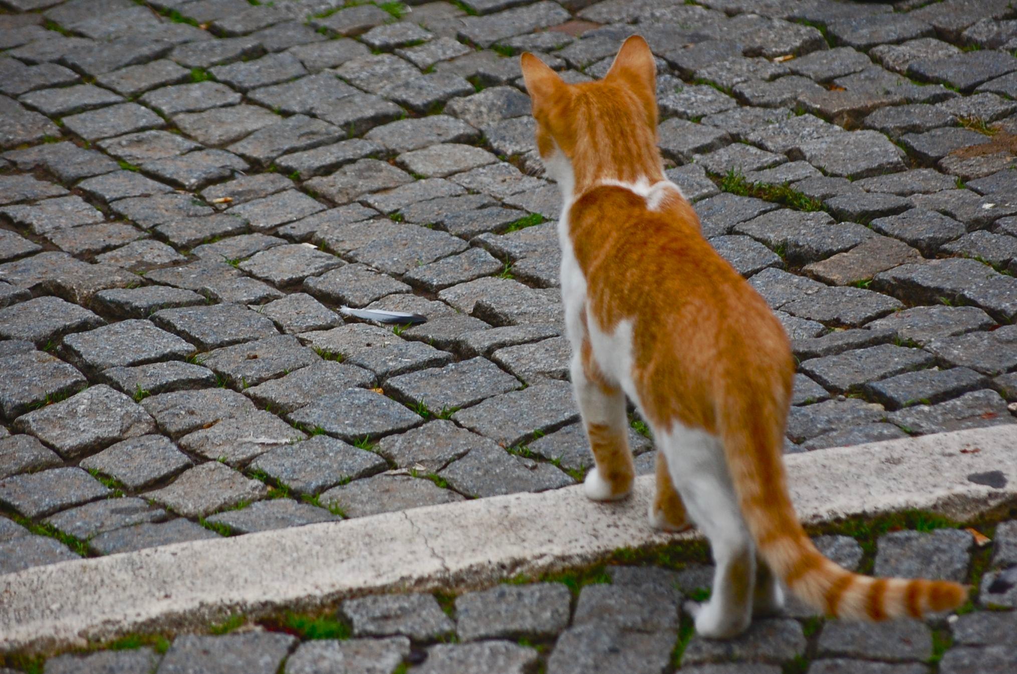 Cat on the CObblestones