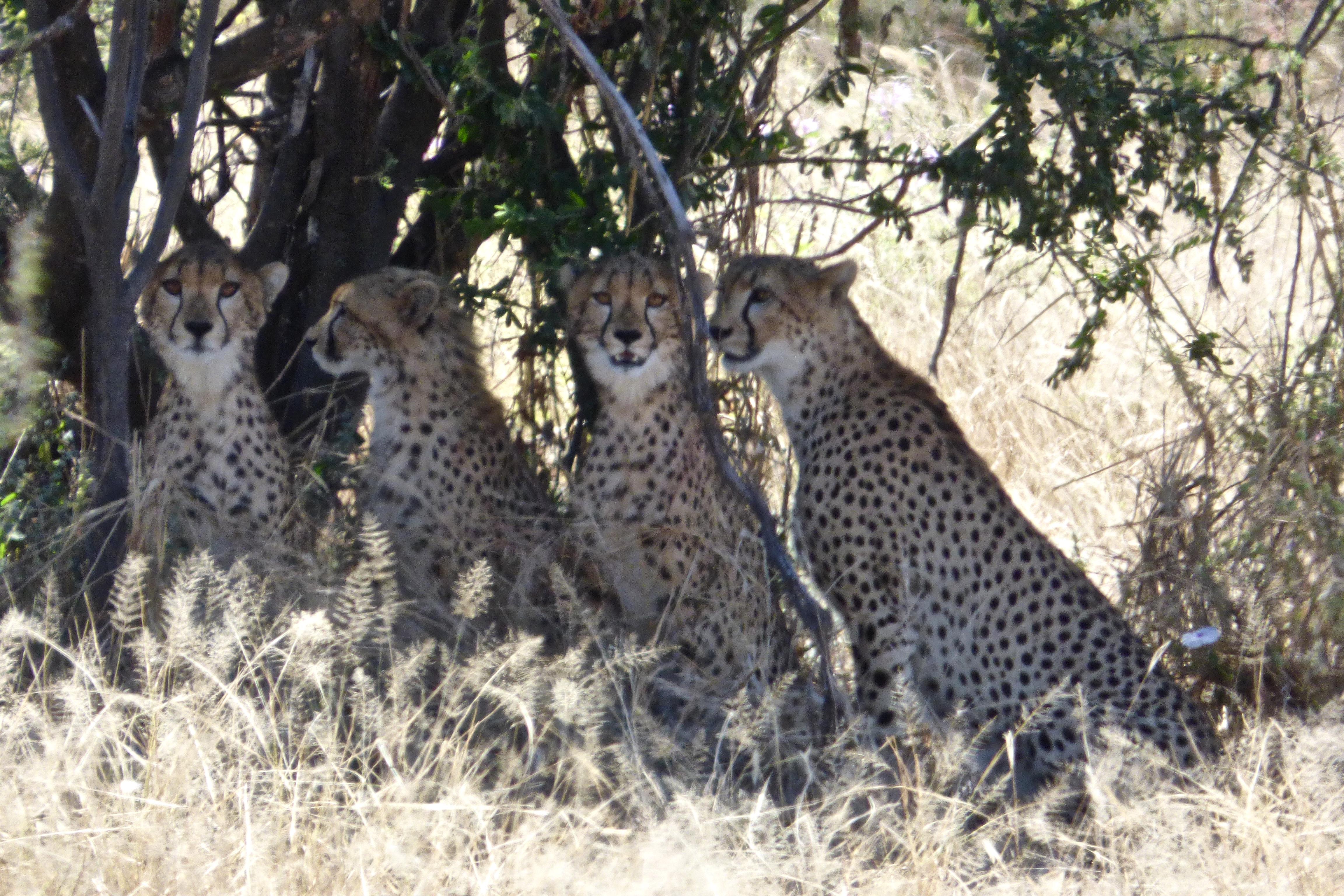 4 Cheetahs