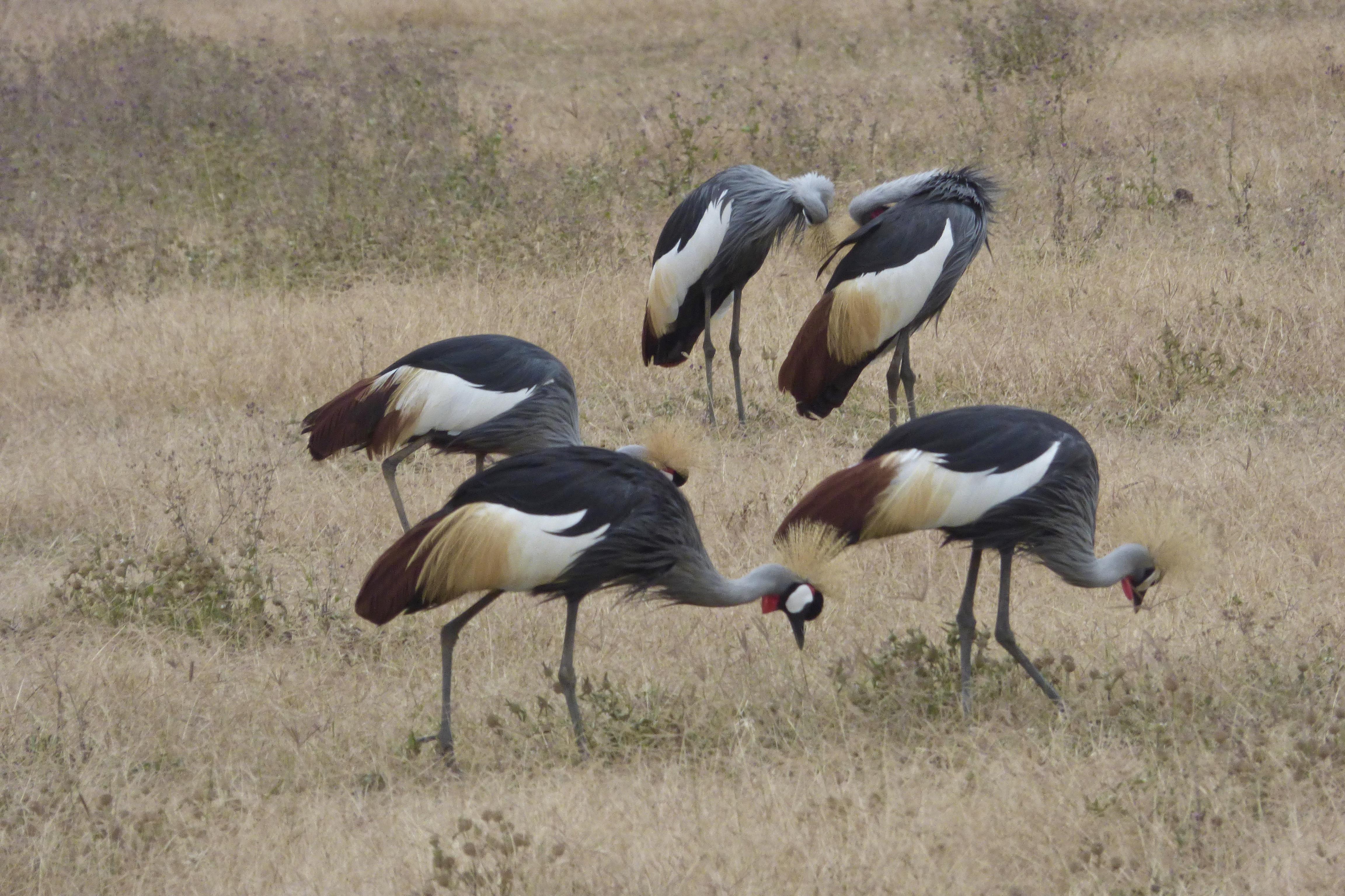 Crested Cranes, Ngorongoro Crater