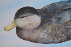 Emily's Duck