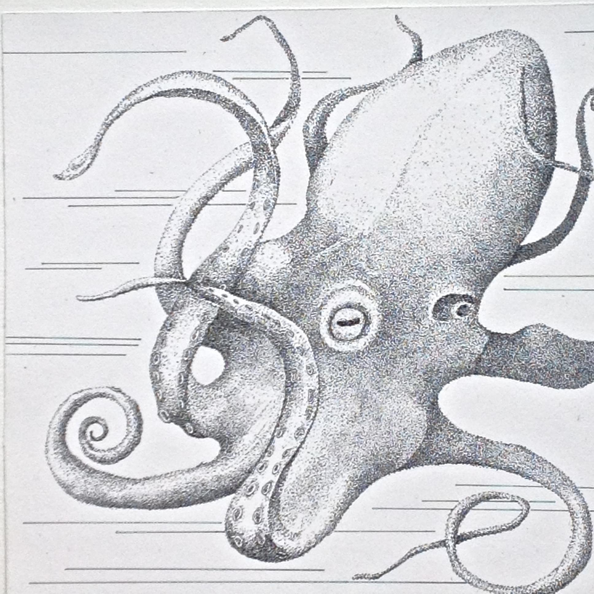 Octopoda Cephalopoda- $200