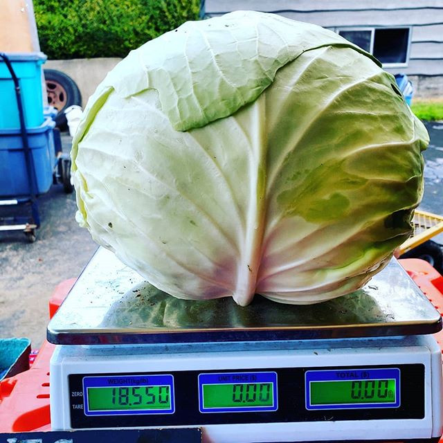 Crazy happy Cabbage's this year..Weighin