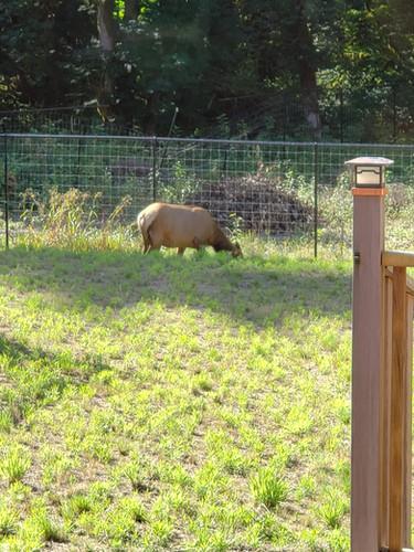 Morning Elk Friends.jpg