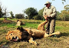 Even the King of the Jungle needs reflexology.