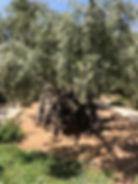 Ancient Olive Tree Gethsemane