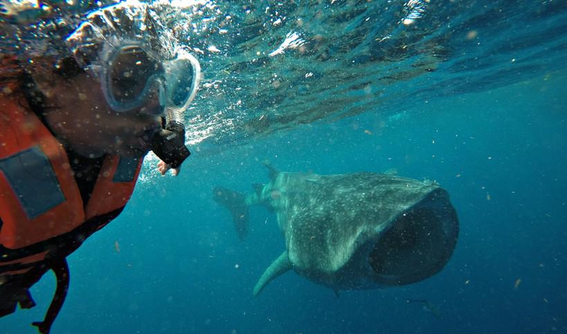 whalesharkfeedingislamujeres.jpg