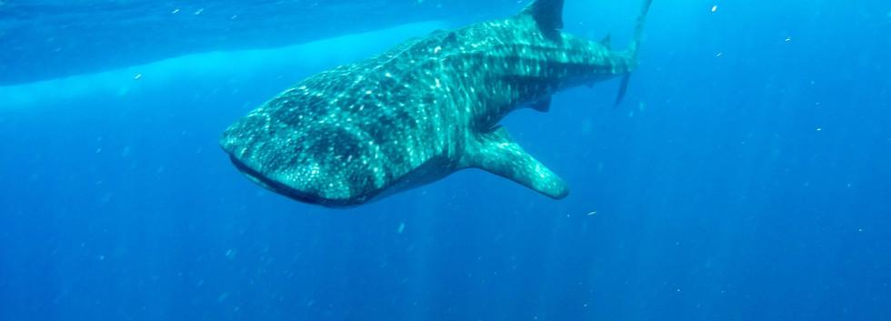 whalesharkislamujeres.jpg