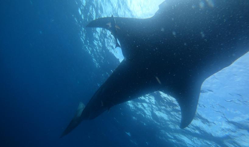 whalesharktiburondebalenaislamujeresmexi