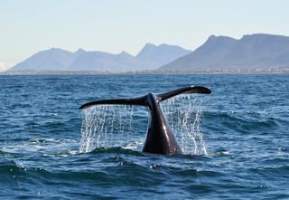 whale-fluking-Hermanus.jpg