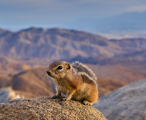 white tailed antelope squirrel_edited_edited.jpg
