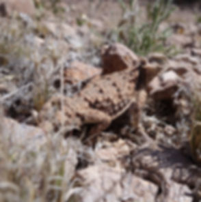 short horned lizard_edited.jpg