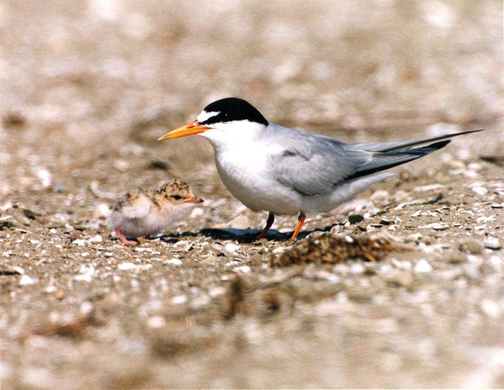California Least Tern