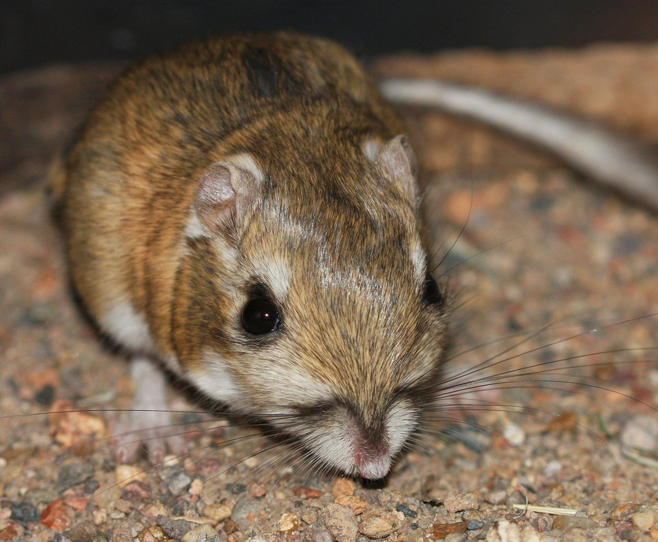 Narrow-faced Kangaroo Rat