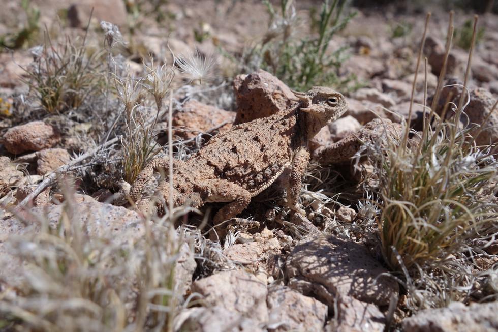Short-Horned Lizard