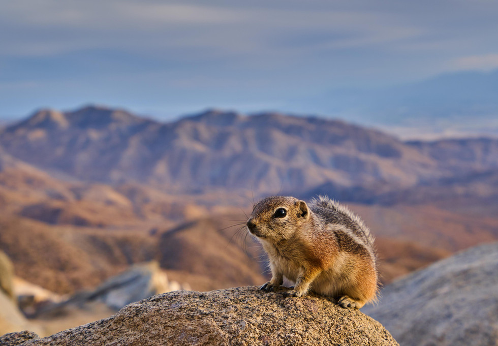 White-Tailed Antelope Ground Squirrel