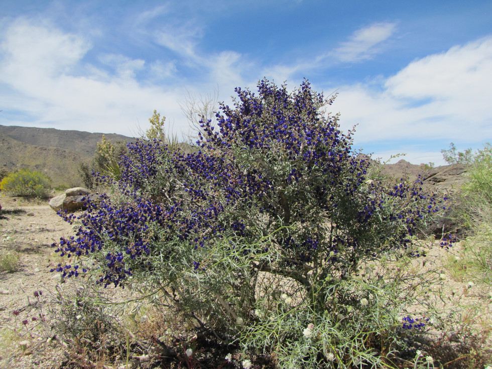 Mojave Indigo