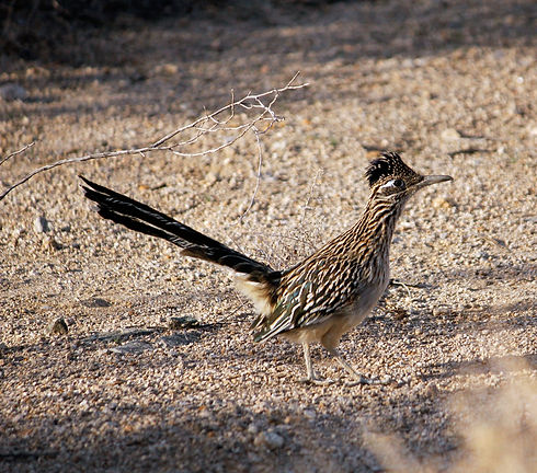 Greater_roadrunner_edited.jpg