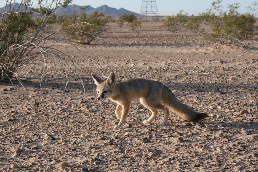Desert Kit Fox