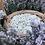 Thumbnail: Rosey Feverfew Soothing Serum