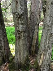 Tree formation at Loring Conant