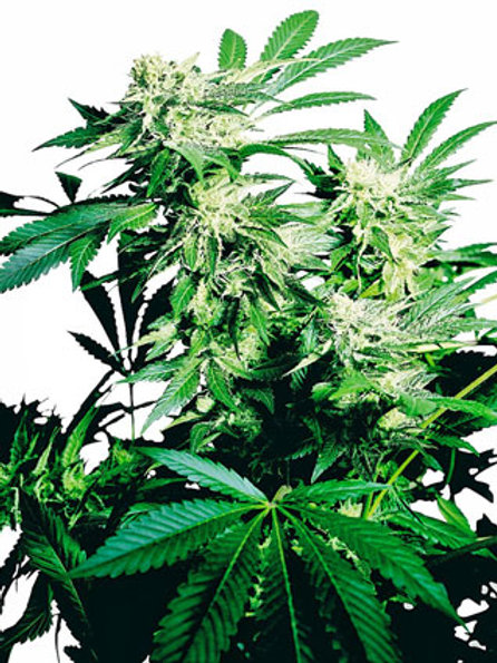 Sensi Seeds Feminized Skunk Kush