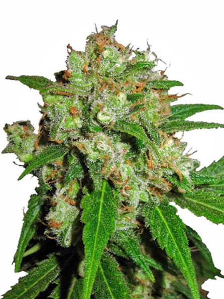 Sensi Seeds Feminized Sensi Skunk