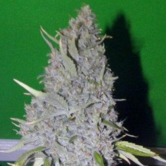 Connoisseur Genetics Strawberry Sour Haze (Feminized Seeds)