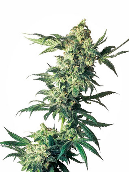 Sensi Seeds Feminized Northern Lights