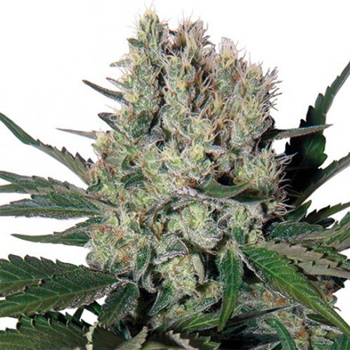 Buddha Seeds-Syrup Auto Feminized