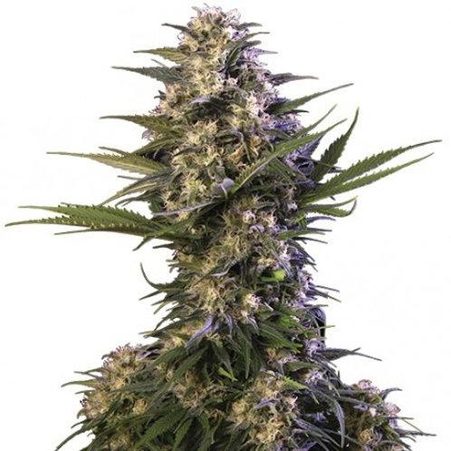 Buddha Seeds-Kraken Feminized (10 Seed)