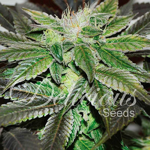 Delicious Seeds Unknown Kush