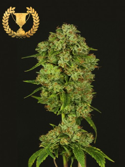 Devils Harvest Seeds Casey Jones Regular