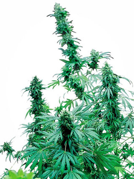 Sensi Seeds Feminized Early Skunk