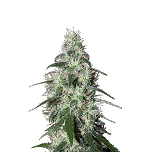 Buddha Seeds-Pulsar Feminized
